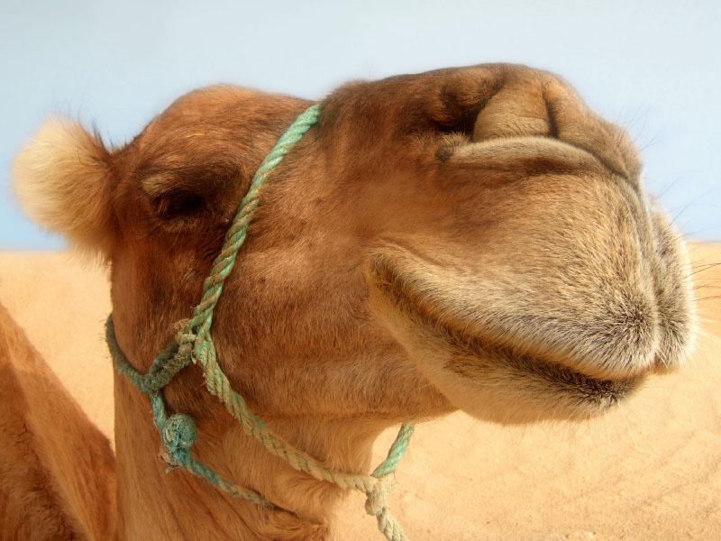 Cheeky camel